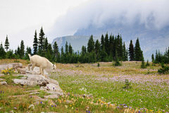 Baby Mountain Goat at Logan Pass Stock Image