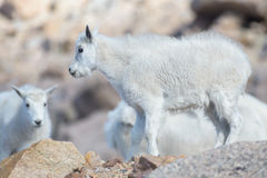 Baby Mountain Goat - Mountain Goats In The Colorado Rocky Mountains Stock Images
