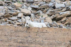 Baby Mountain Goat Royalty Free Stock Images