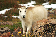 Baby Mountain Goat on Mt. Evans. Near Denver, Colorado Stock Photo