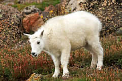 Baby Mountain Goat on Mt. Evans. Baby Mountain Goat oreamnos americanus among the Rocks on Mt. Evans in Colorado Royalty Free Stock Images