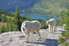 Baby Mountain Goat and parent Royalty Free Stock Images