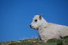 Baby Mountain Goat Portrait Royalty Free Stock Images