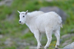 Baby Mountain Goat Royalty Free Stock Image