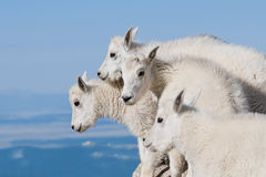 Baby Mountain Goats Stock Photography