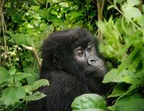 Baby Mountain Gorilla. Trekking the mountain gorillas in the Democratic Republic of Congo, I came across this baby. Taken with CANON EOS 400D Stock Photos