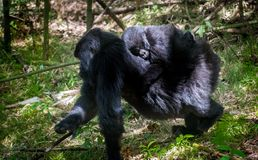 Baby mountain gorilla Stock Images