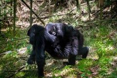 Baby mountain gorilla Stock Photo
