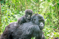 Baby Mountain gorilla on the back of his mother. Stock Images