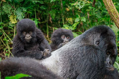 Baby Mountain gorilla on the back of a Silverback. Stock Photography