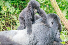 Baby Mountain gorilla on the back of a Silverback. Royalty Free Stock Image