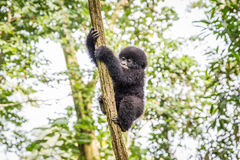 Baby Mountain gorilla climbing in a tree. Stock Photo