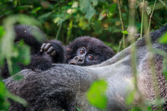 Baby Mountain gorilla hiding behind a Silverback. Royalty Free Stock Photos