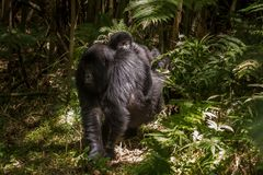 Baby mountain gorilla Royalty Free Stock Images