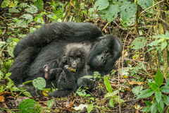 Baby Mountain gorilla laying with his mother in the leaves. Stock Photo