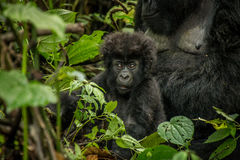 Baby Mountain gorilla laying with his mother in the leaves. Royalty Free Stock Images