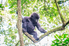 Baby Mountain gorilla playing in a tree. Stock Photo
