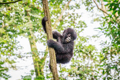 Baby Mountain gorilla playing in a tree. Baby Mountain gorilla playing in a tree in the Virunga National Park, Democratic Republic Of Congo stock photo