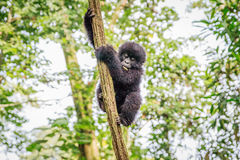 Baby Mountain gorilla playing in a tree. Stock Image