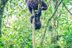 Baby Mountain gorilla playing in a tree. Royalty Free Stock Images