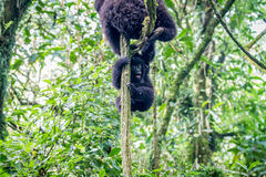 Baby Mountain gorilla playing in a tree. Royalty Free Stock Photo