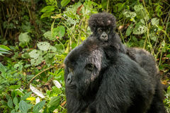 Baby Mountain gorilla sitting on his mother. Stock Images