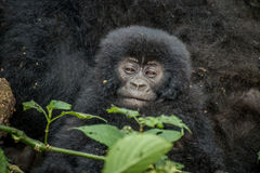 Baby Mountain gorilla sitting with his mother. Royalty Free Stock Images