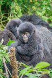 Baby Mountain gorilla sitting in leaves. Royalty Free Stock Photo