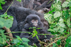 Baby Mountain gorilla sitting in leaves. Royalty Free Stock Images