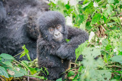 Baby Mountain gorilla sitting in leaves. Royalty Free Stock Photos