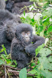 Baby Mountain gorilla sitting in leaves. Royalty Free Stock Image