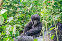 Baby Mountain gorilla sitting on a Silverback. Royalty Free Stock Photography