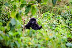 Baby mountain gorilla in the top of a bush Royalty Free Stock Photo