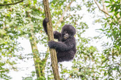 Baby Mountain gorilla in a tree in the Virunga National Park. Baby Mountain gorilla in a tree in the Virunga National Park, Democratic Republic Of Congo Stock Image