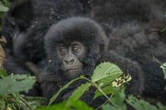Baby Mountain gorilla in the Virunga National Park. Baby Mountain gorilla in the Virunga National Park, Democratic Republic Of Congo Stock Photo