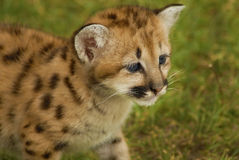 Baby Mountain Lion. Six weeks old baby Mountain Lion Royalty Free Stock Images