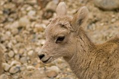 Baby Mountain Sheep stock photography