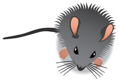 Baby Mouse Royalty Free Stock Images