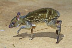 Baby Mouse deer Royalty Free Stock Photos