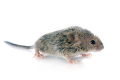 Baby mouse Royalty Free Stock Photo