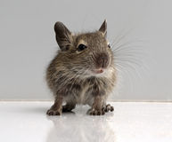 Baby mouse Stock Photography