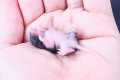 Baby mouse Royalty Free Stock Photos