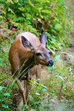 Baby mule deer in British Columbia Canada Stock Photography