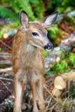 Baby mule deer in British Columbia Canada Royalty Free Stock Photos