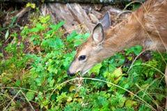 Baby mule deer in British Columbia Canada Stock Photo
