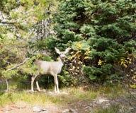 The baby mule deer (Odocoileus hemionus)  standing at the blue t Stock Image