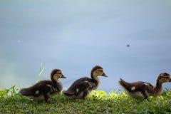 Baby Muscovy Duck Chicks Stockfotografie