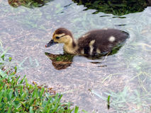 Baby Muscovy Duckling Stock Photo