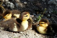 Baby Muscovy ducks in a sun patch Royalty Free Stock Photography