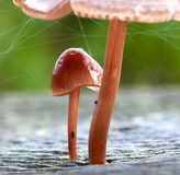 Baby mushroom growing under large mushroom Royalty Free Stock Photos